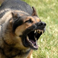 dog snarling