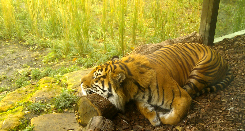 Jae Jae the tiger at London Zoo