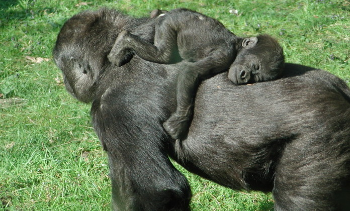 baby gorilla sleeping