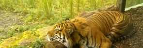 Jae Jae the tiger at London Zoo